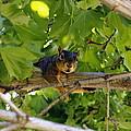 Cute Fuzzy Squirrel In Tree by Amy McDaniel