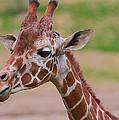 Cute Giraffe Portrait  by Dan Sproul