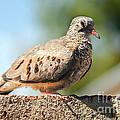 Cute Inca Dove by Robert Bales