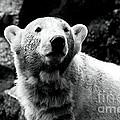 Cute Knut by John Rizzuto