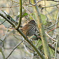 Cute Little Thrush by Nicki Bennett