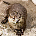 Cute Otter Portrait by Pati Photography