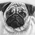 Cute Pug by Olga Shvartsur
