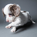 Cute Puppy - The Amanda Collection by Amandafoundation.org