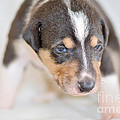 Cute Smooth Collie Puppy by Martin Capek