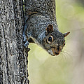 Cute Squirrel  Dare Me by Paul Ward