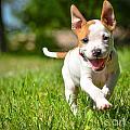 Cute Stafford Puppy Running On Field by Aleksandar Mijatovic