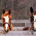 Cute Yearlings by Janice Byer