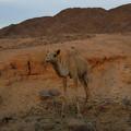 Cute Young Camel Desert Sinai Egypt by Colette V Hera  Guggenheim
