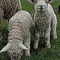 Cutest Lamb Ever by Jen  Brooks Art