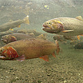 Cutthroat Trout In The Spring Idaho by Michael Quinton