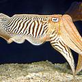 Cuttlefish 1 by Dawn Eshelman