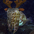 Cuttlefish With Reindeer Hat by Gary Hughes