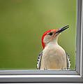 Cw My Crazy Woodpecker by Karol Livote
