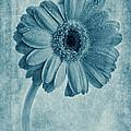 Cyanotype Gerbera Hybrida With Textures by John Edwards