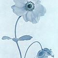 Cyanotype Windflowers by John Edwards
