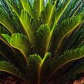 Cycad Sago Palm by Sennie Pierson