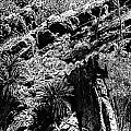 Cycads At Cliffs' Edge Black And White by Douglas Barnard