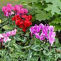 Cyclamen Flowers by Brenda Kean