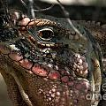 Cyclura Cychlura Figginsi Iguana Endangered 2 by Cheryl Hurtak