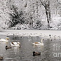 Cygnets In Winter by John Chatterley