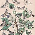 Cymatophoridae - Acronyctidae by W Kirby
