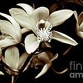 Cymbidium Orchids by Charlene Mitchell