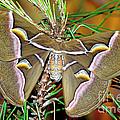 Cynthia Moth by Millard H. Sharp