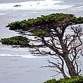 Cypress By The Sea by AJ  Schibig