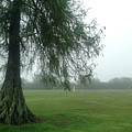 Cypress In The Mist by Kathleen K Parker