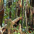 Cypress Knees by Nancy L Marshall