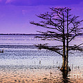 Cypress Purple Sky 2 by Scott Hervieux