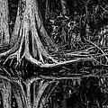 Cypress Roots - Bw by Christopher Holmes