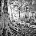 Cypress Roots In Big Cypress by Bradley R Youngberg