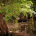 Cypress Swamp by Marty Koch