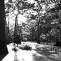 Cypress Swamp Morning by Thomas R Fletcher