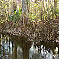Cypress Swamp by Peg Urban