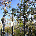 Cypress Swamp by Rudy Umans