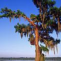 Cypress Tree Blue Sky by Thomas R Fletcher