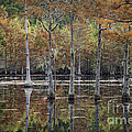 Cypress Tree Fall Reflections by Maria  Struss