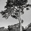 Cypress Tree In Golden Gate Park Black And White by John M Bailey