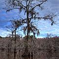 Cypress Tree by Jonathan Davison