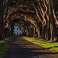 Cypress Tree Tunnel by Gej Jones