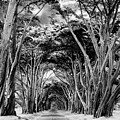 Cypress Tree Tunnel Point Reyes by Dominic Piperata