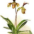 Cypripedium Hybridum Calypso, Sander by Artokoloro