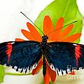 Cythera Butterfly by Millard H Sharp