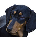 Dachshund by Linsey Williams