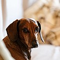 Dachshund Portrait by Scott Hill
