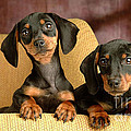 Dachshund Puppies by Marvin Blaine