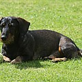 Dachshund Wants To Play  by Christiane Schulze Art And Photography